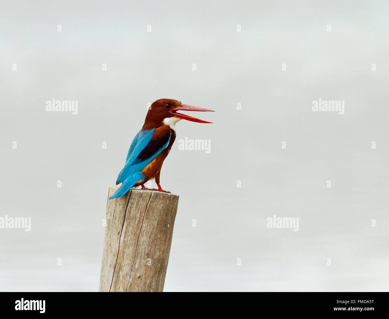 White-throated kingfisher (Halcyon smyrnensis), Kho Kham, Samut Sakhon, Thailand - Stock Image