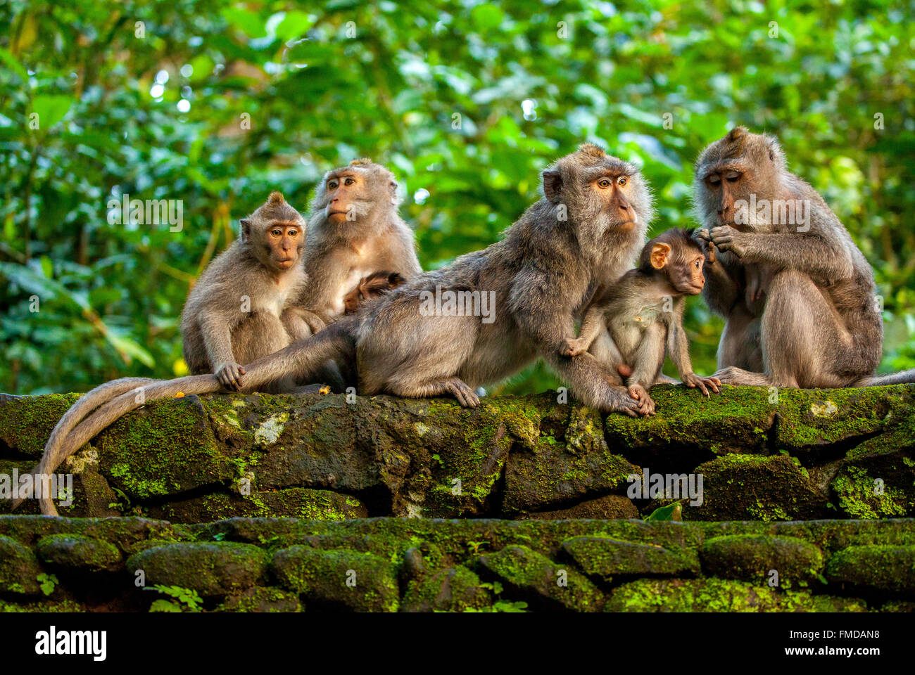 Crab-eating macaque (Macaca fascicularis), monkey family with baby monkey sitting on a stone wall grooming, Ubud - Stock Image