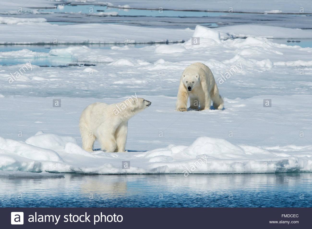 Two Polar bears Ursus Maritimus 'Thalarctos Maritimus' meet on an ice floe, Svalbard, Norway. - Stock Image