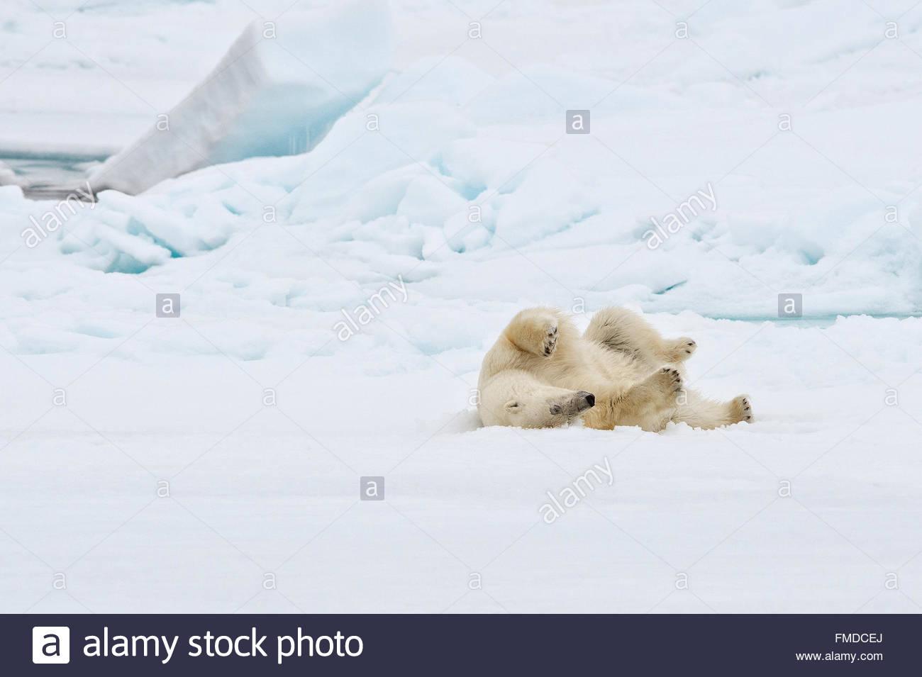 "Polar bear, Ursus Maritimus,""Thalarctos maritimus, family Ursidae"" rolling on pack ice. Stock Photo"