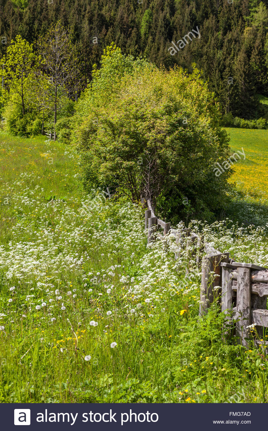 Flower meadow in Campo Tures, South Tyrol, Italy Stock Photo