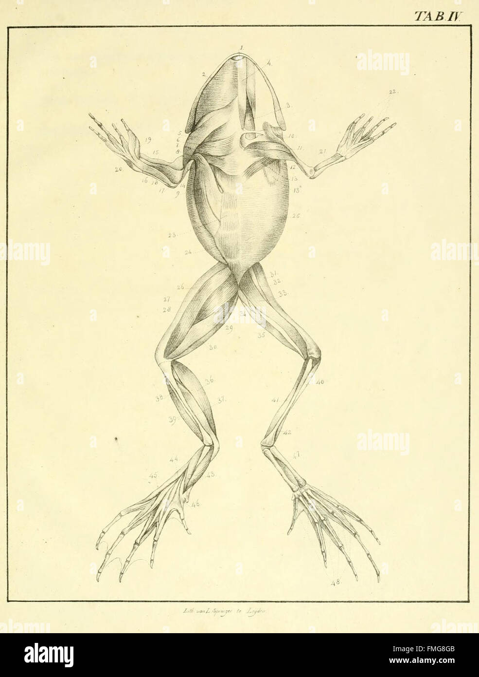 Amphibians Anatomy Harvard University Stock Photos & Amphibians ...