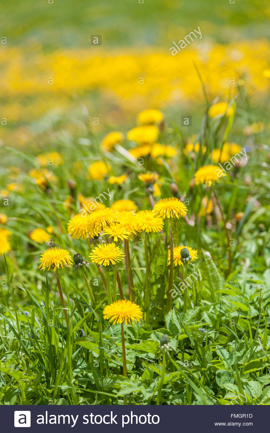 Dandilon meadow in Campo Tures, South Tyrol, Italy Stock Photo