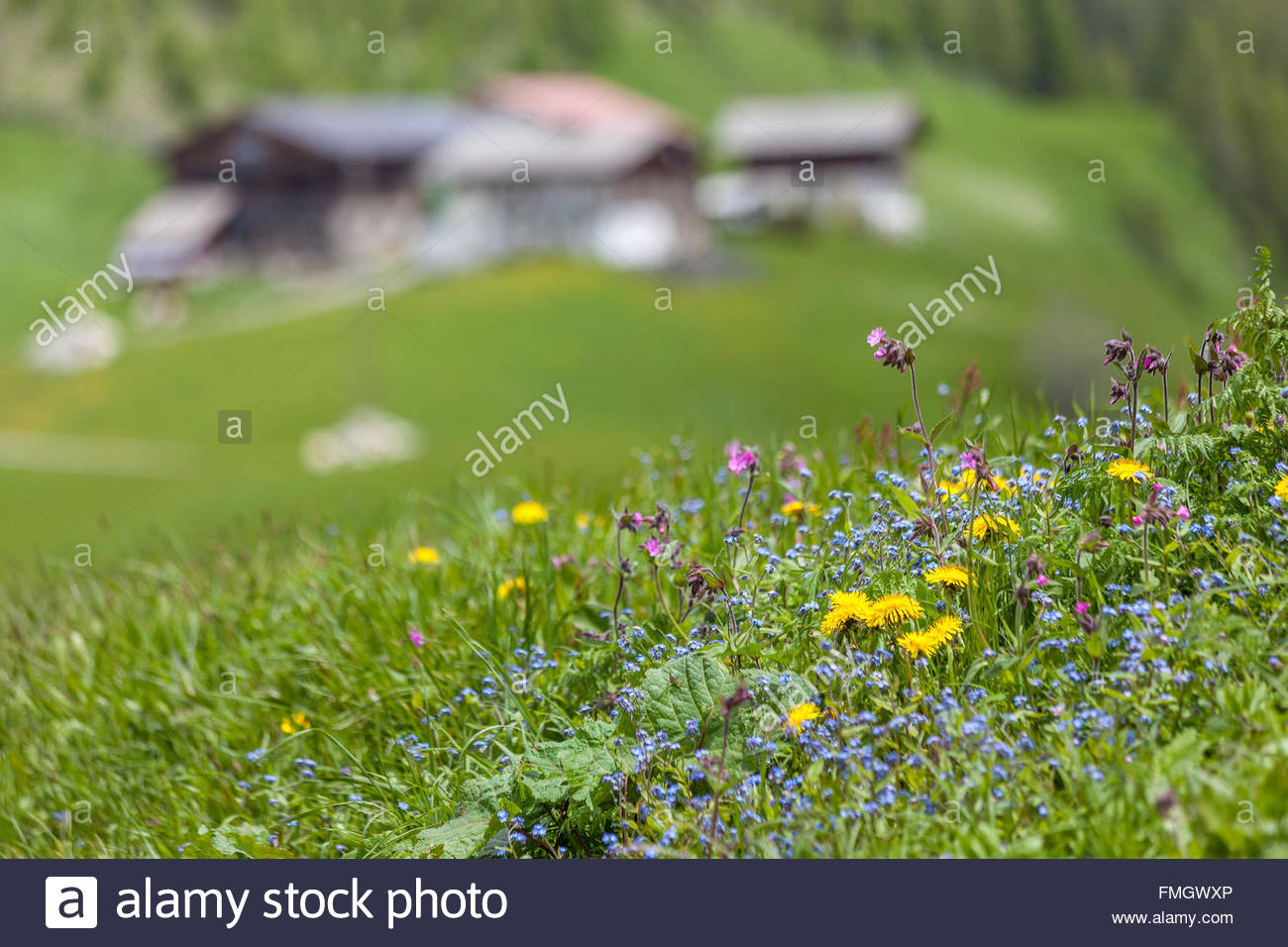 Mountain flowers and alp in Muehlwald valley, Campo Tures, South Tyrol, Italy - Stock Image