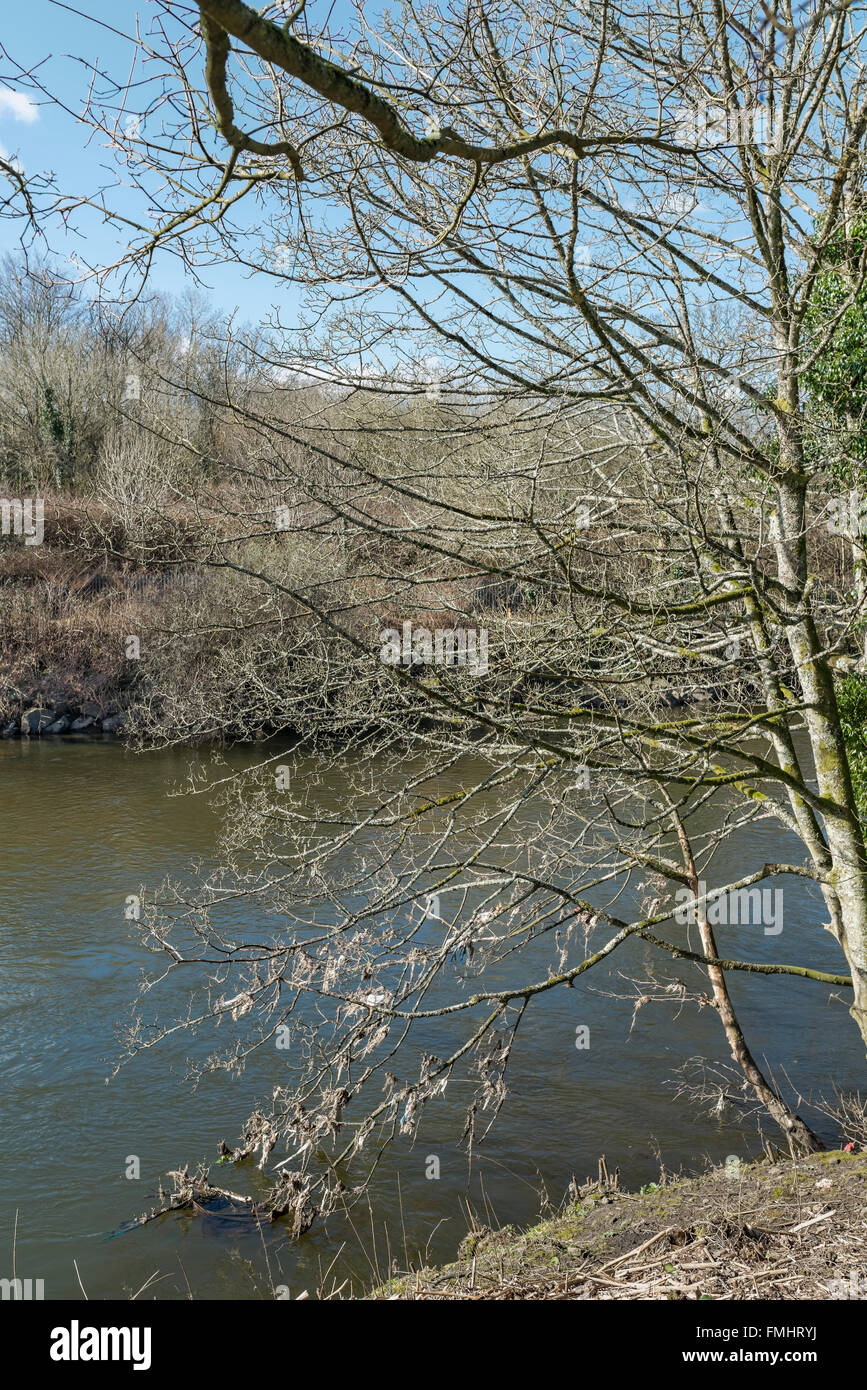 Rubbish hanging from the lower branches of a tree on the River Taff. - Stock Image