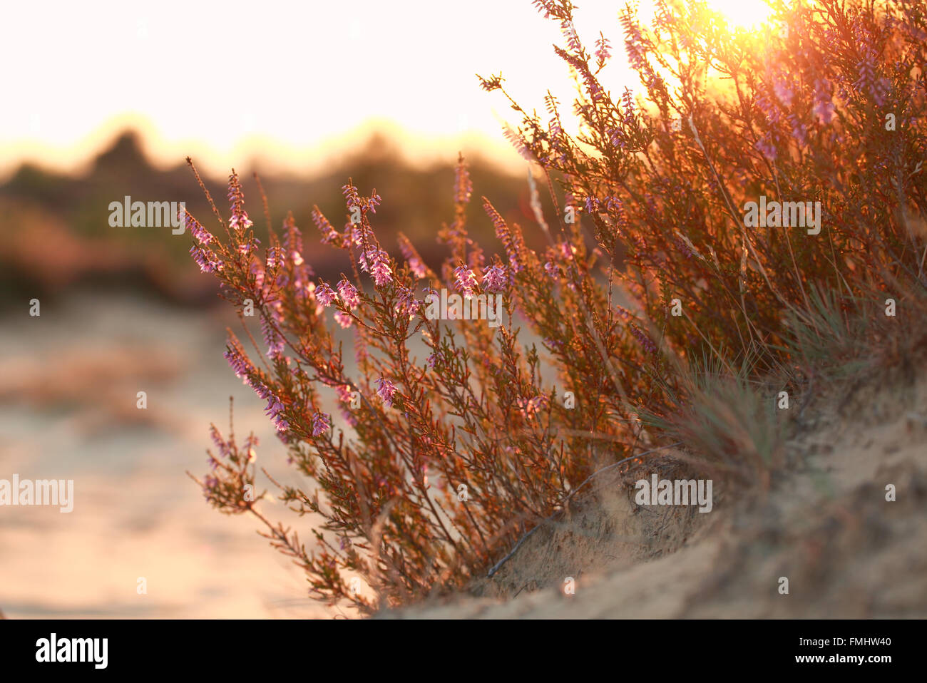 heather flowers on sand hill at gold sunset - Stock Image