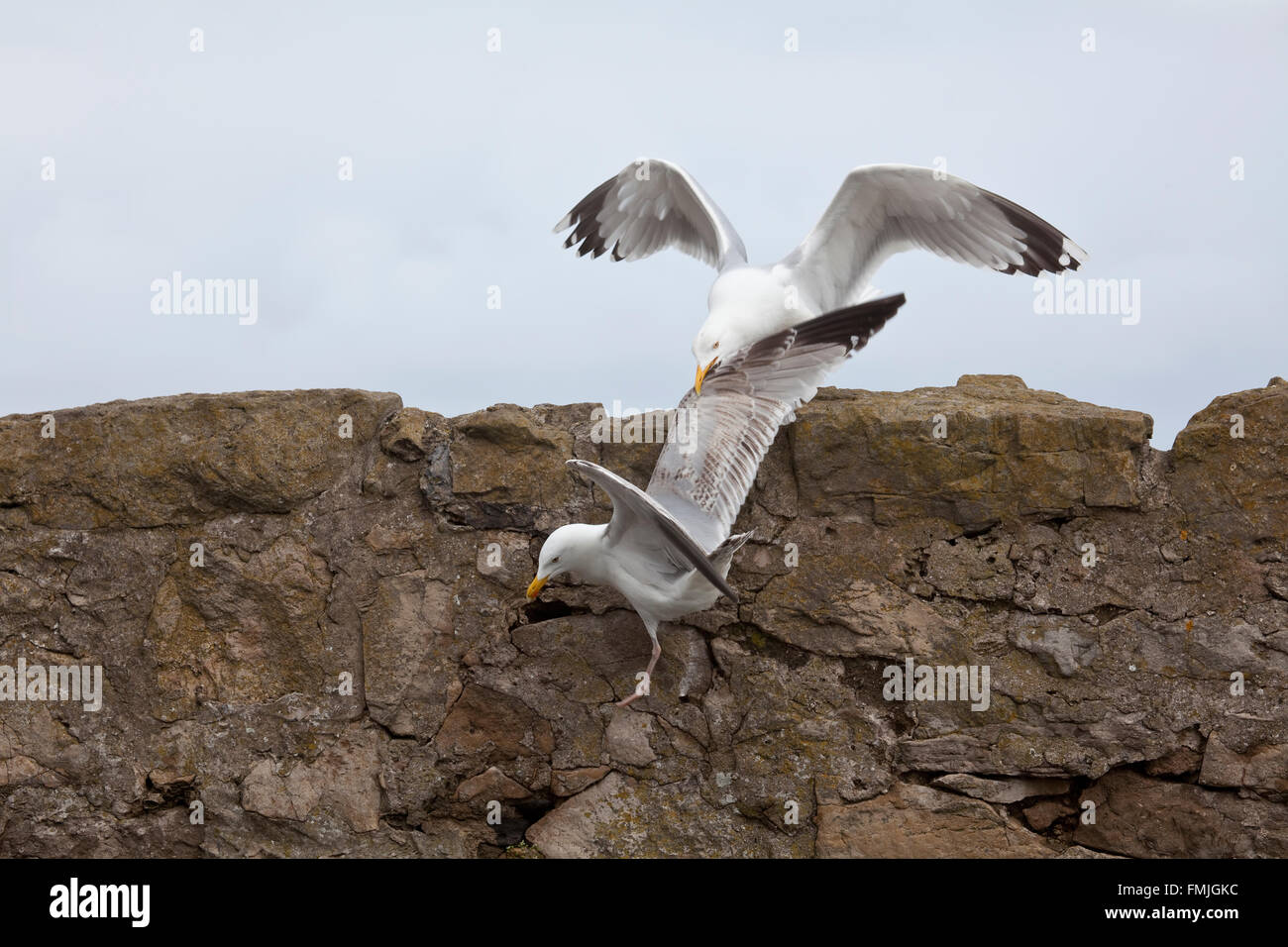 A pair of Herring Gulls Larus Argentatus involved in a territorial dispute on a stone sea wall - Stock Image