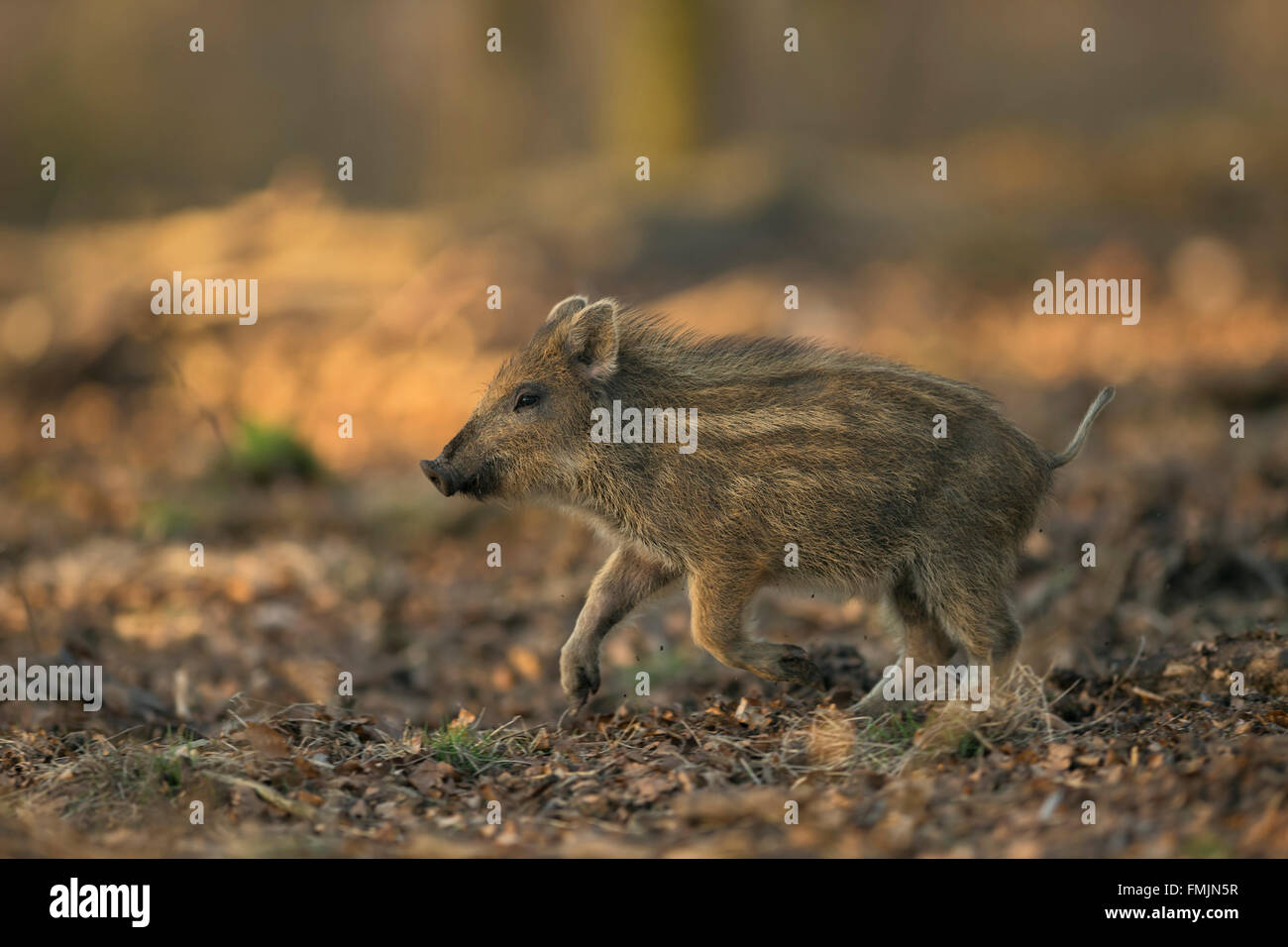 Wild Boar / Wildschwein ( Sus scrofa ), striped shoat, runs fast through a mixed forest, full of joy, low point - Stock Image