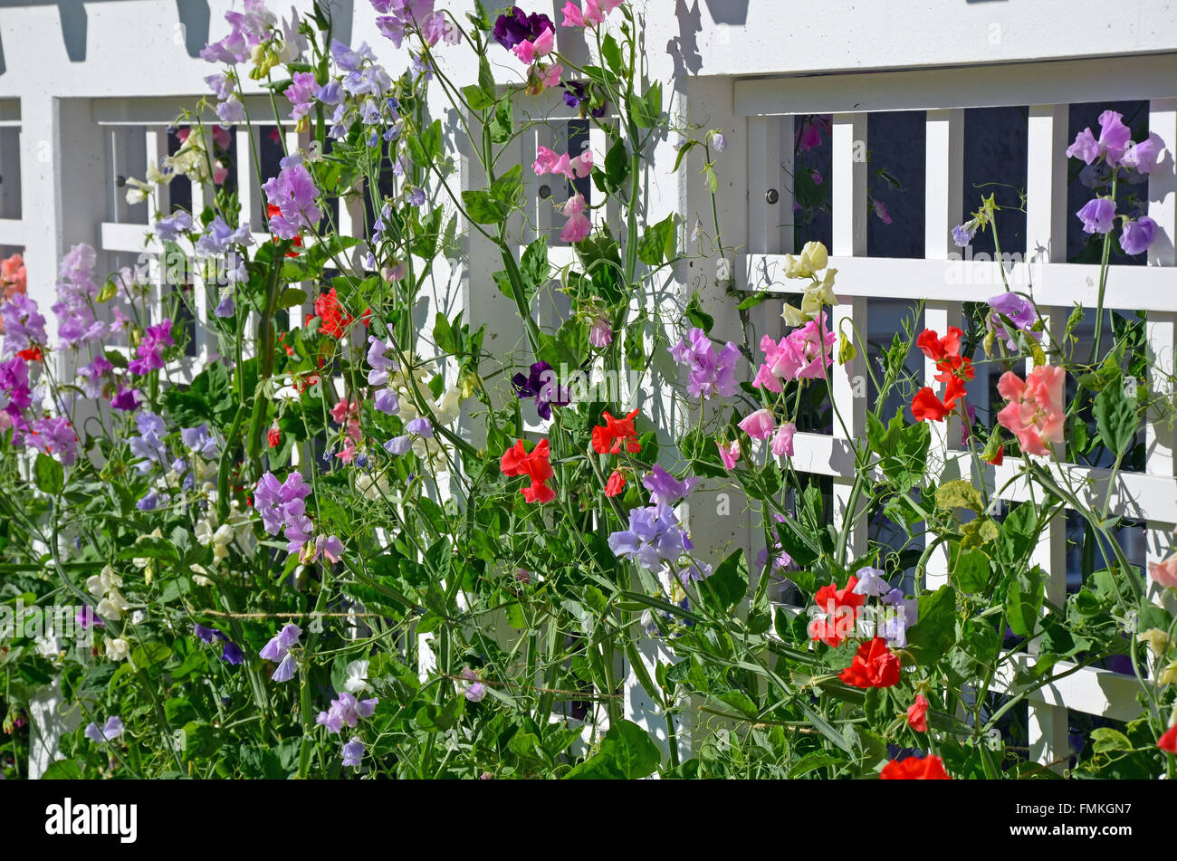 Colorful sweet pea flowers growing on trellis Stock