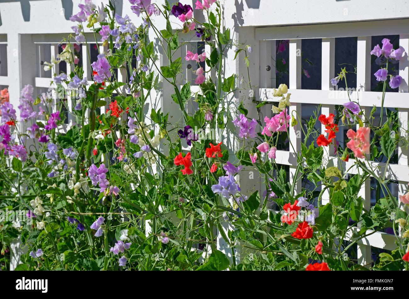 Colorful Sweet Pea Flowers Growing On Trellis Stock Photo
