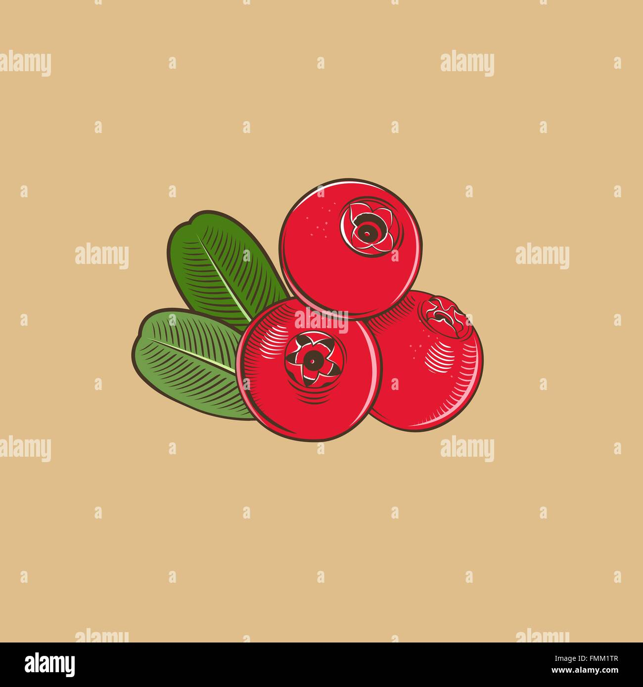 Cowberry in vintage style. Colored vector illustration - Stock Vector