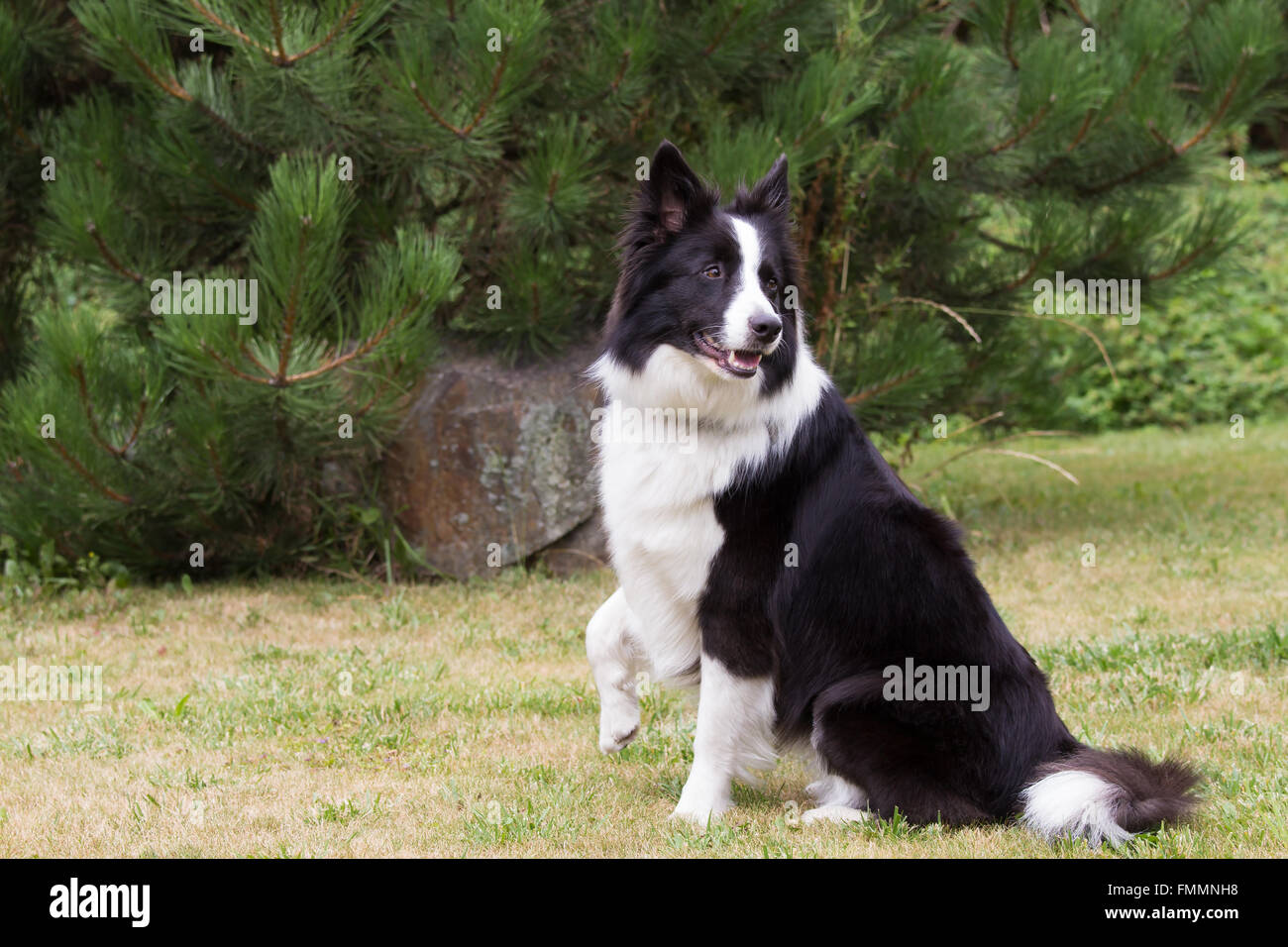 Border collie is sitting on the lawn. It has a raised right paw and head rotates backward. - Stock Image
