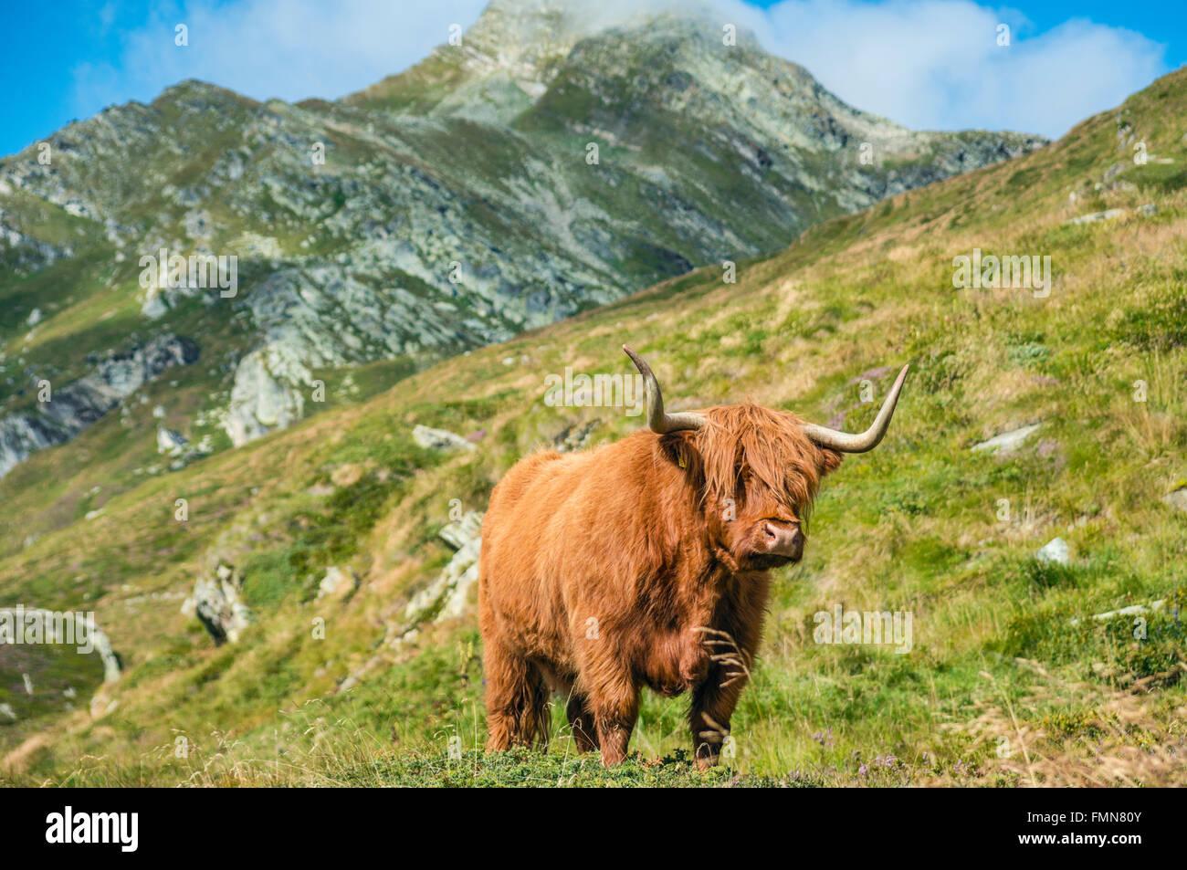 Scottish Highland Cattle on a meadow, Grisons, Switzerland | Schottische Highland Kuh im Fruehling auf einer Weide, - Stock Image