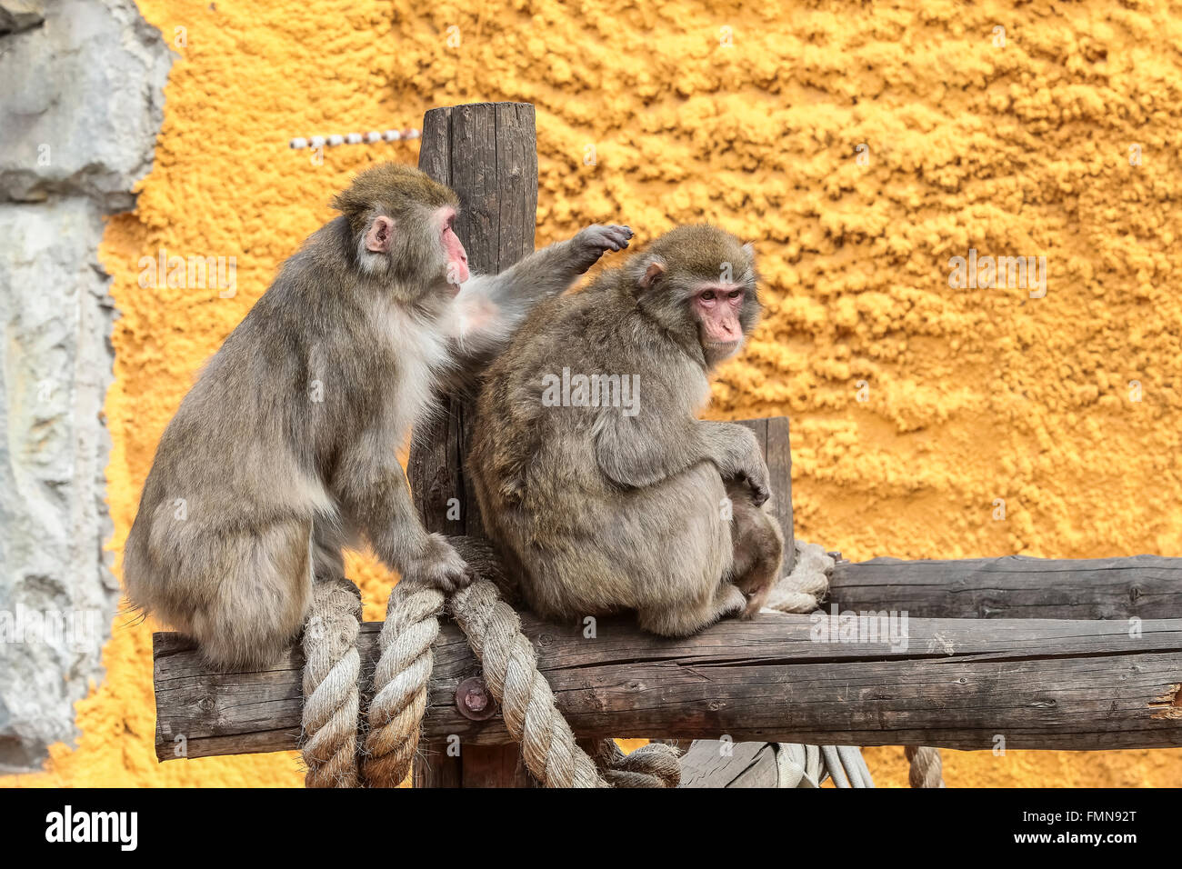 Japanese macaque (Macaca fuscata) Snow monkey Stock Photo