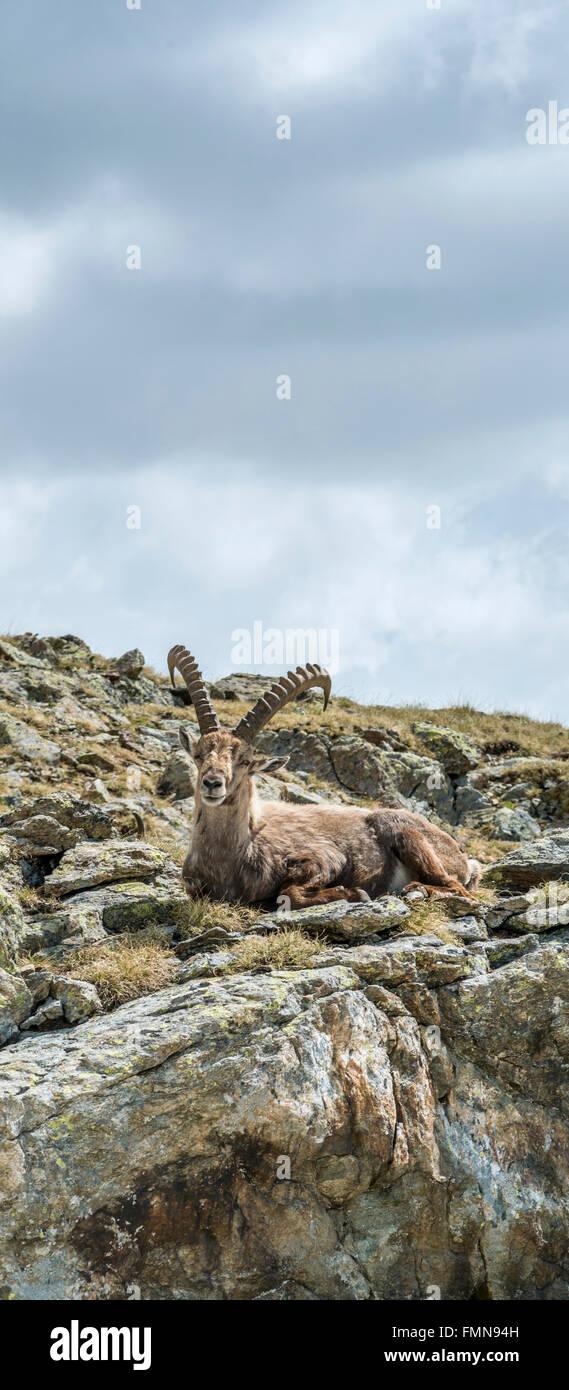 Single male Alpine Ibex, Swiss Alps, Switzerland   Einzelner maennlicher Alpen Steinbock, Pontresina, Graubuenden, - Stock Image