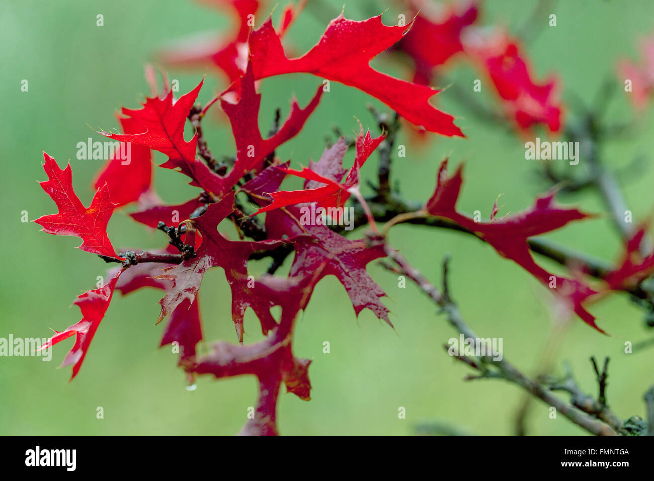 Quercus palustris 'Swamp Pygmy' red autumn leaves - Stock Image