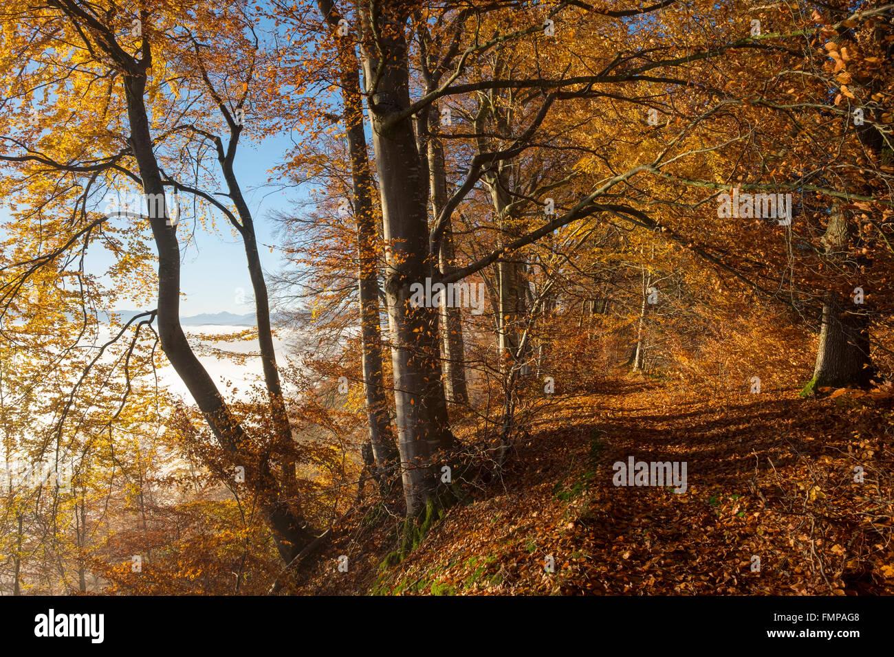 Forest path through autumnal beech forest, mist over Pupplinger Au, Schlederloh in Icking, Upper Bavaria, Bavaria, Stock Photo