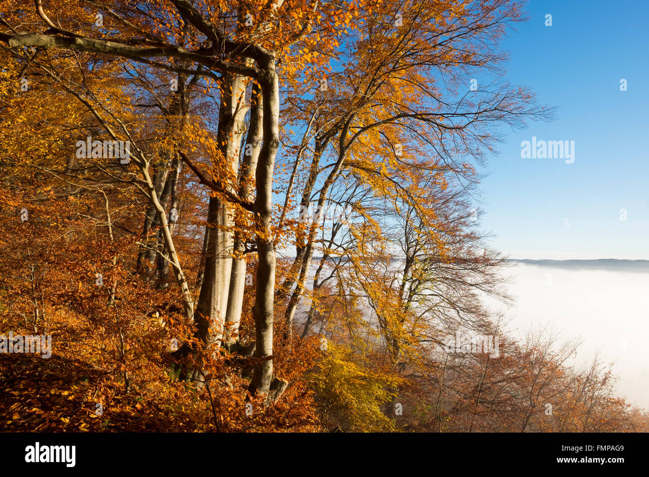 Autumnal beeches, mist over Pupplinger Au, Schlederloh in Icking, Upper Bavaria, Bavaria, Germany - Stock Image