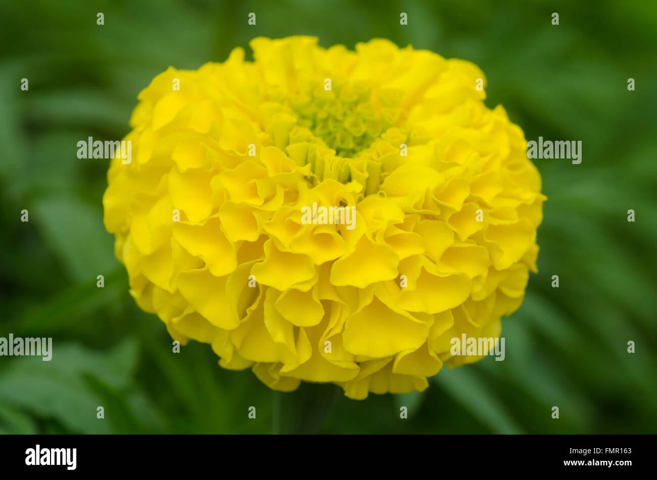 Beautiful golden yellow marigold flower stock photo 98850811 alamy beautiful golden yellow marigold flower mightylinksfo