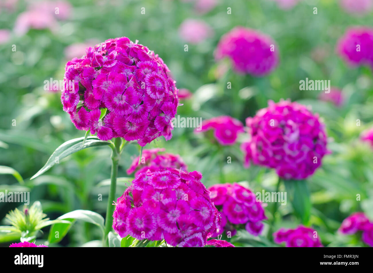 Dianthus Chinensis China Pink Sweet William Flower Stock Photo