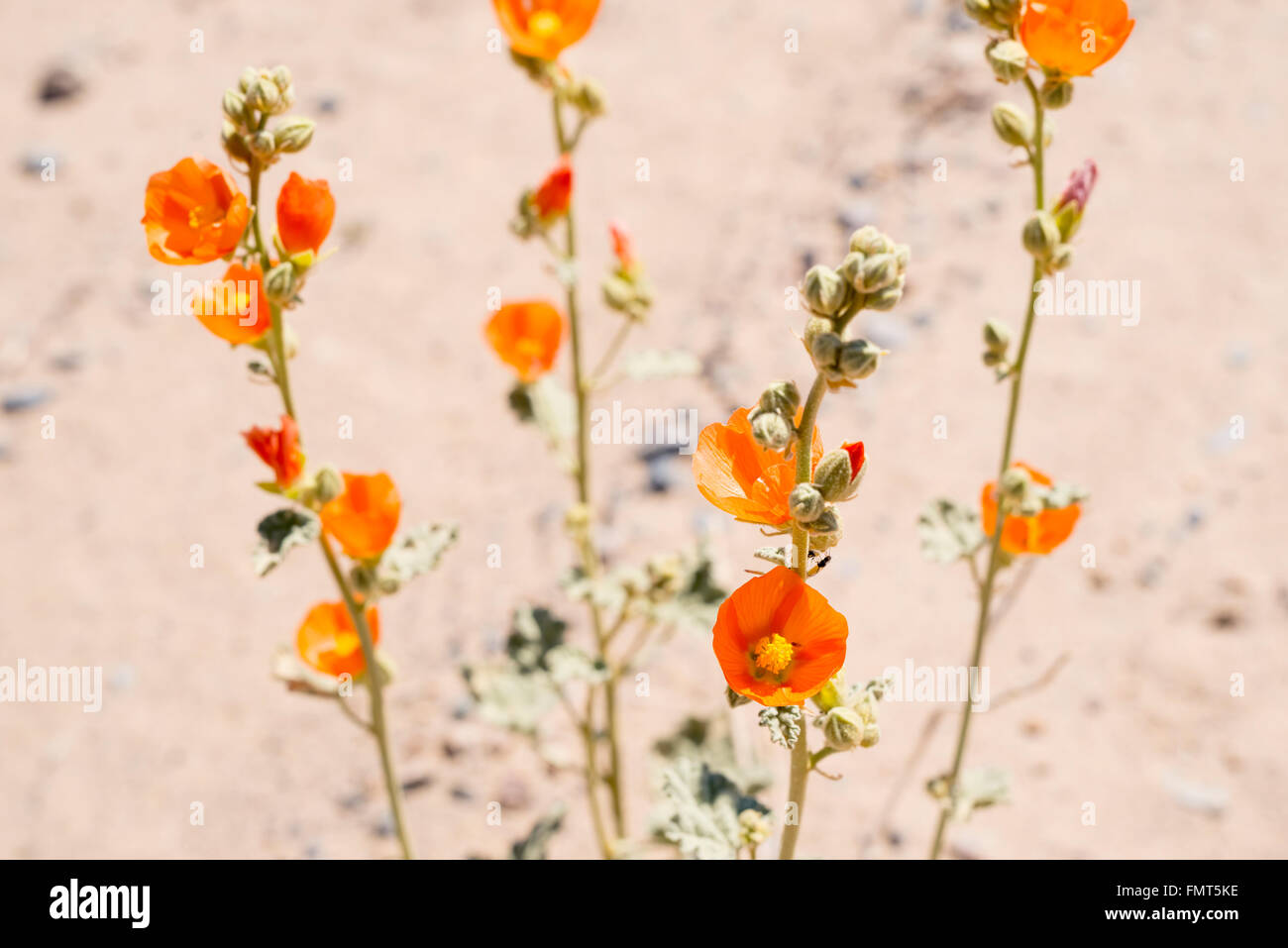 Desert Mallow (Sphaeralcea ambigua) blooming in Eureka Valley, Death Valley National Park, California - Stock Image