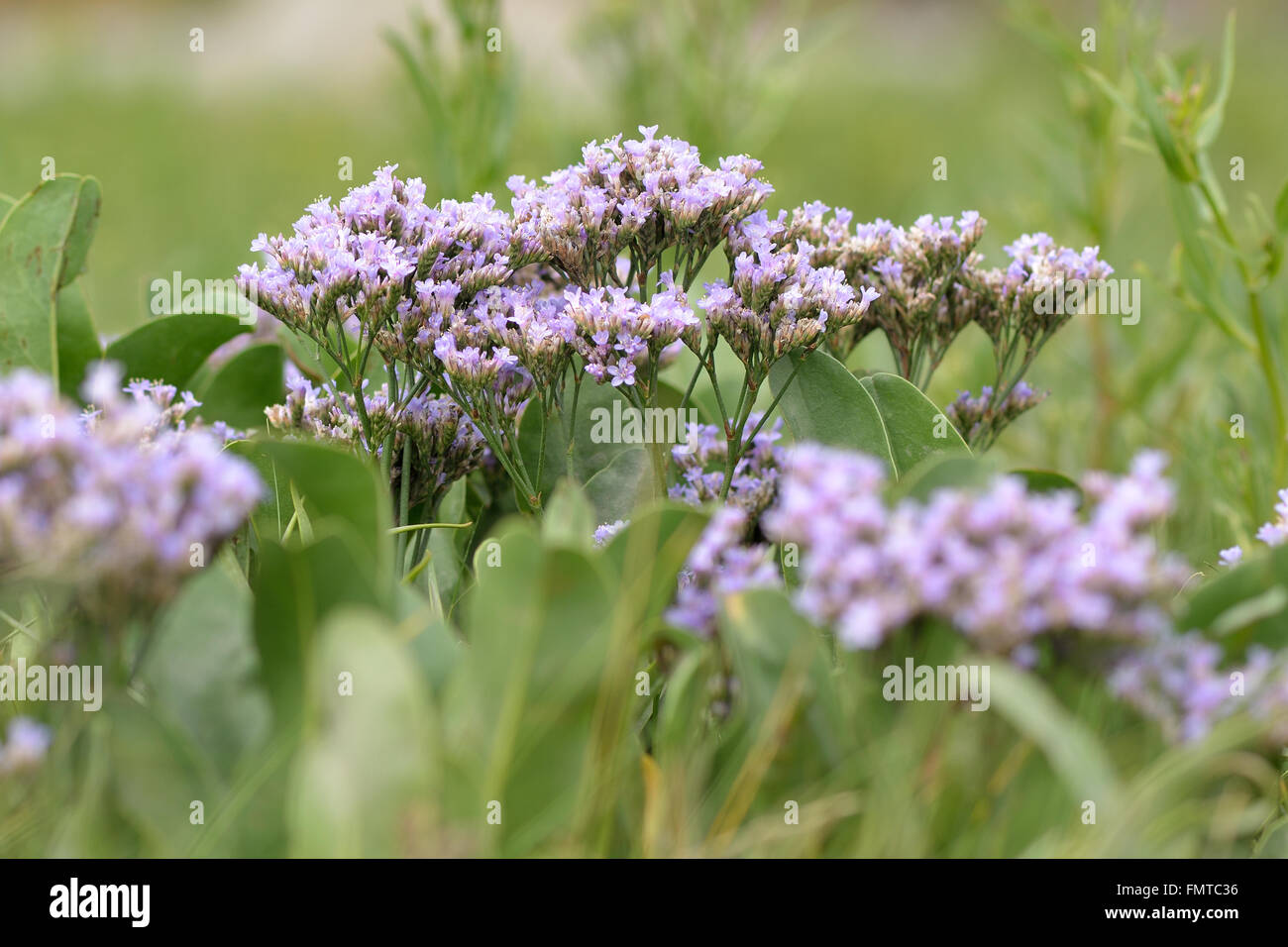 Common sea-lavender (Limonium vulgare). Flowers of plant in family Pumbaginaceae, flowering on inter-tidal mudflats - Stock Image