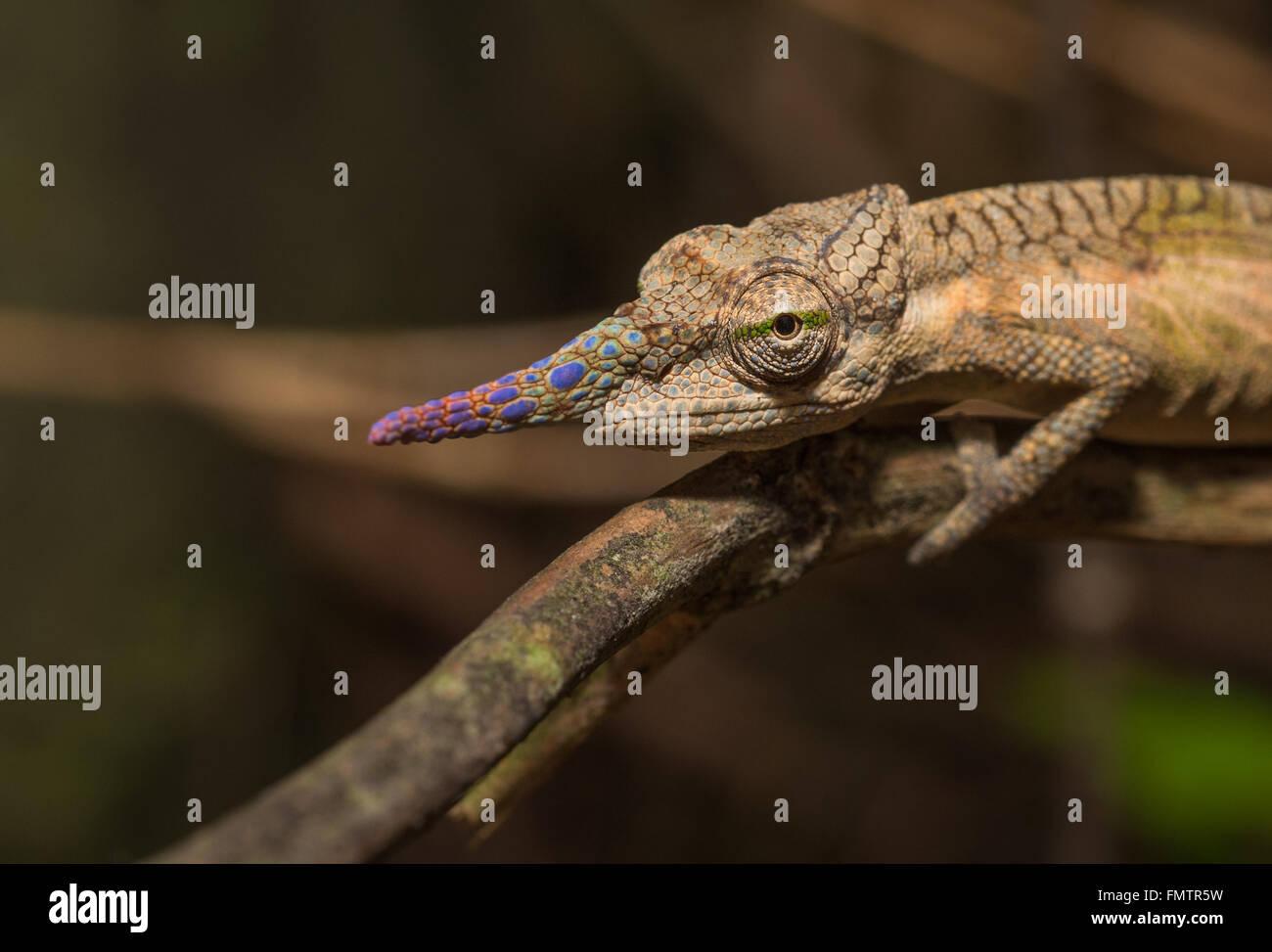 Colorful chameleon of Madagascar - Stock Image
