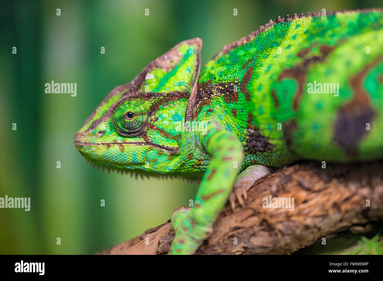 green chameleon on a branch looking at the camera close-up - Stock Image