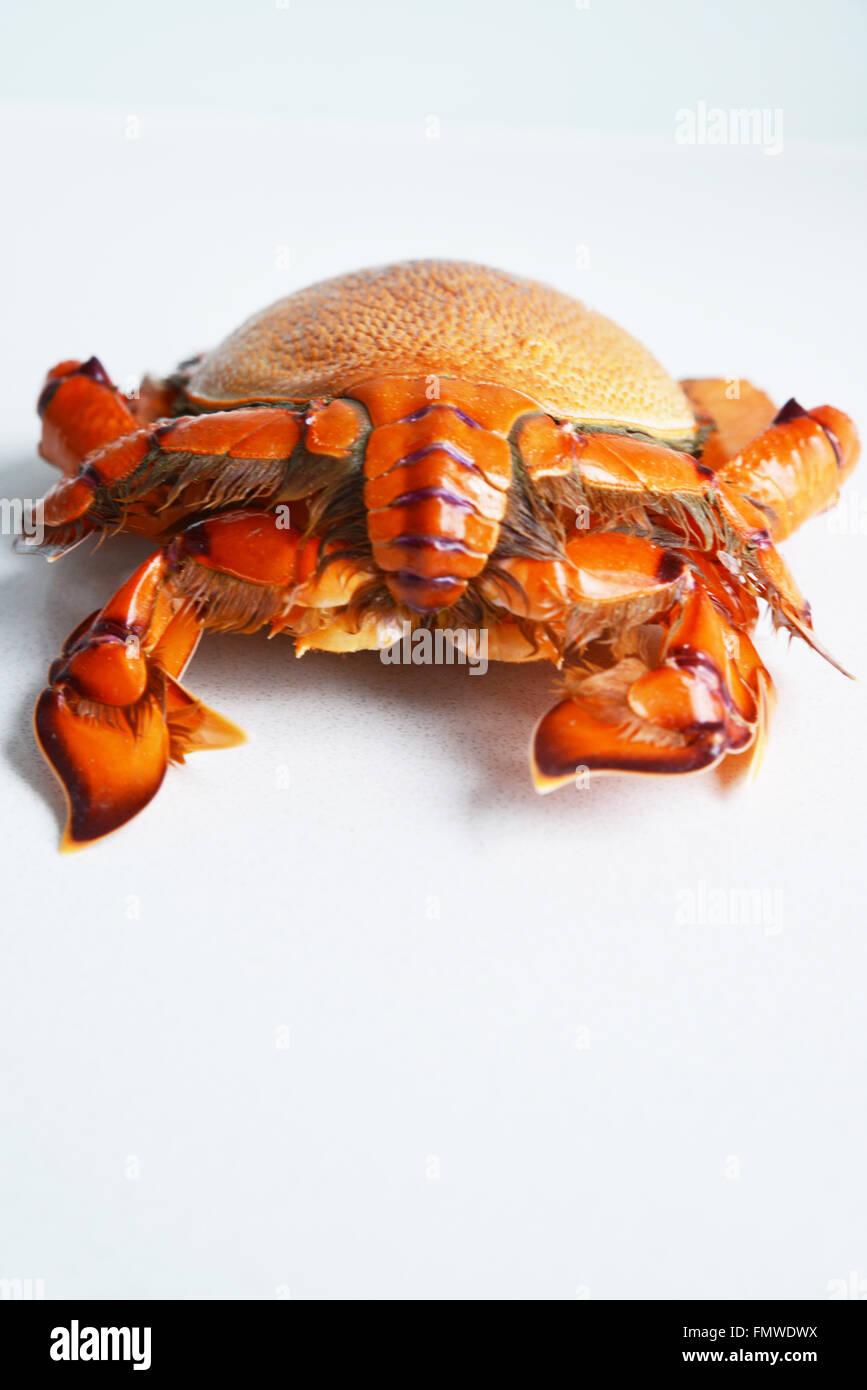 Crab. Spanner Crab. - Stock Image