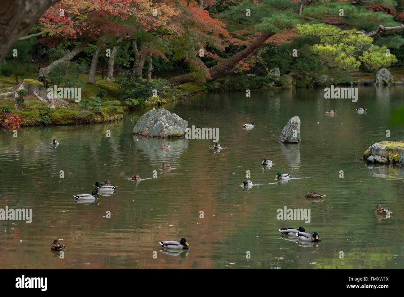 ducks in the pond around the Golden Pavilion (Kinkaku-ji) of Kyoto, Japan. autumn - Stock Image