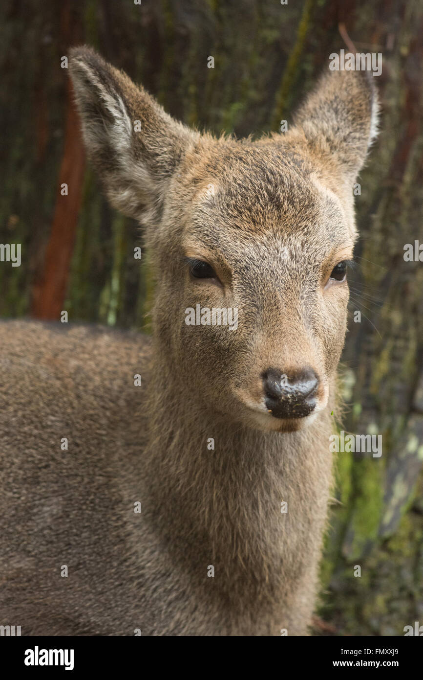 Deer Of Nara Park - Stock Image