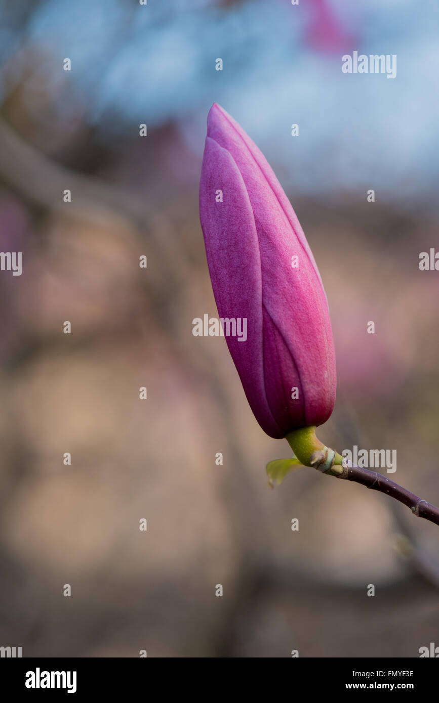 Isolated pink magnolia flower bud with a blurry background - Stock Image