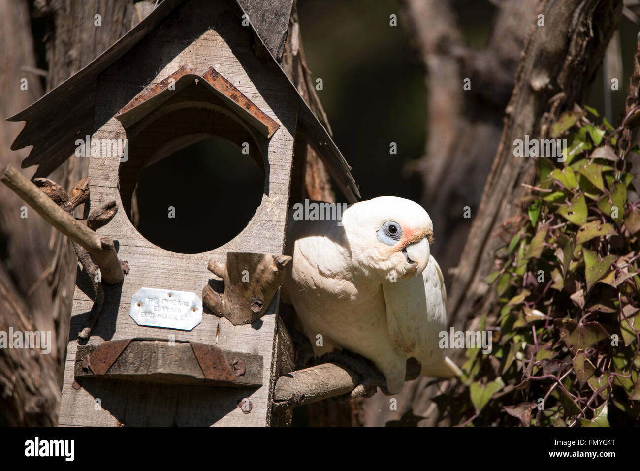 A Little Corella is a common sight  in Queensland, Australia Stock Photo