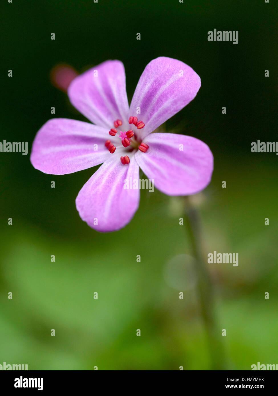 Geranium robertianum,  Herb-Robert, flower - Stock Image