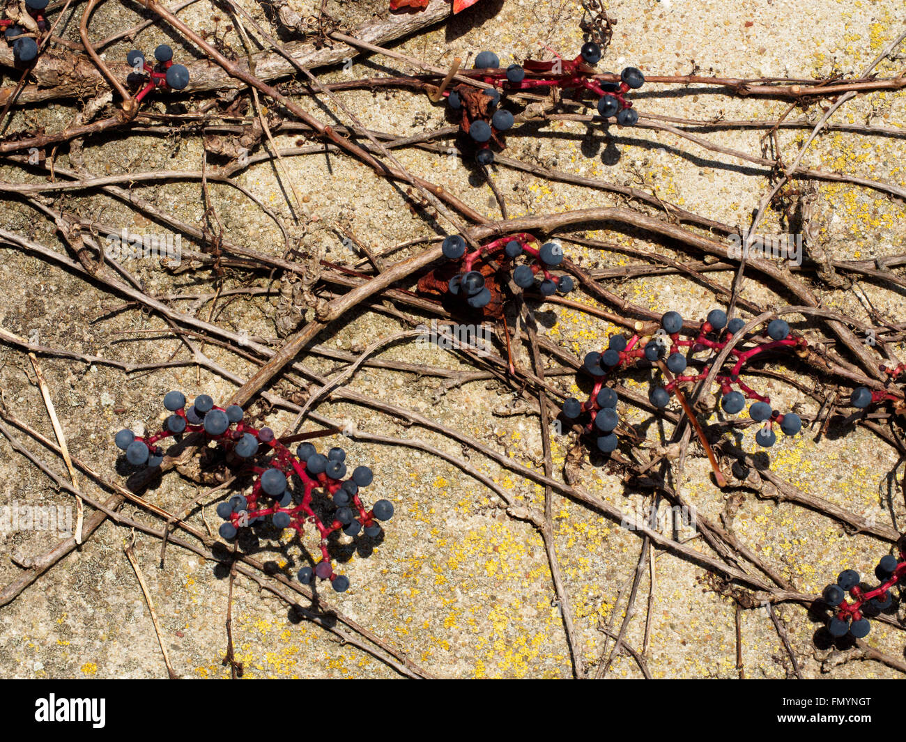 Common grape vine growing on a house wall in Frankonia Stock Photo