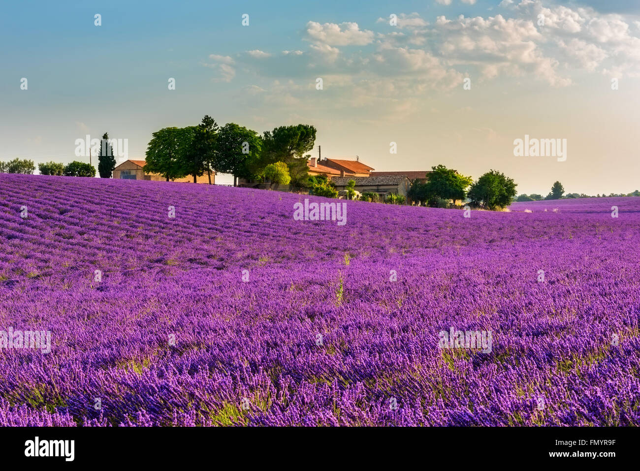 Gentle sunrise over the endless lavender fields and farm in Provence, France Stock Photo