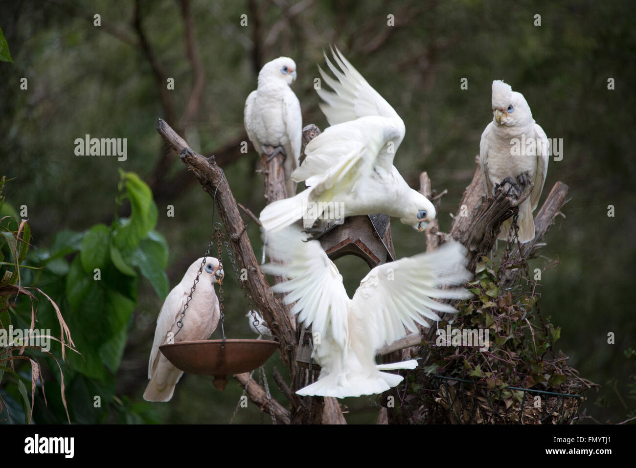 A flock of Little Corellas decent on a residential garden for a feed. They are  a common sight  in Queensland, Australia - Stock Image