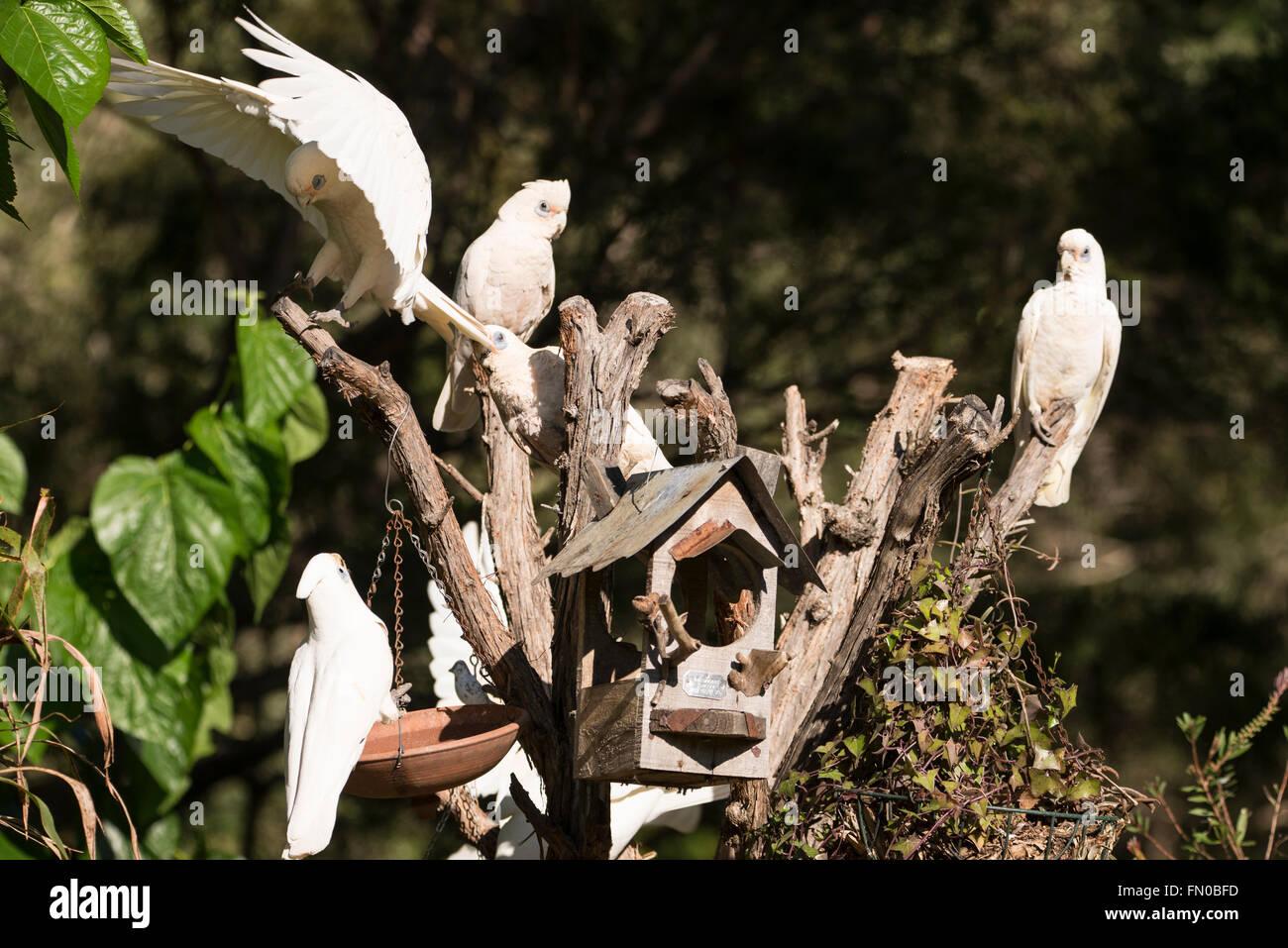 A flock of  Little Corellas,  a common sight  in Queensland, Australia  on the Sunshine Coast  in Queensland, Australia - Stock Image