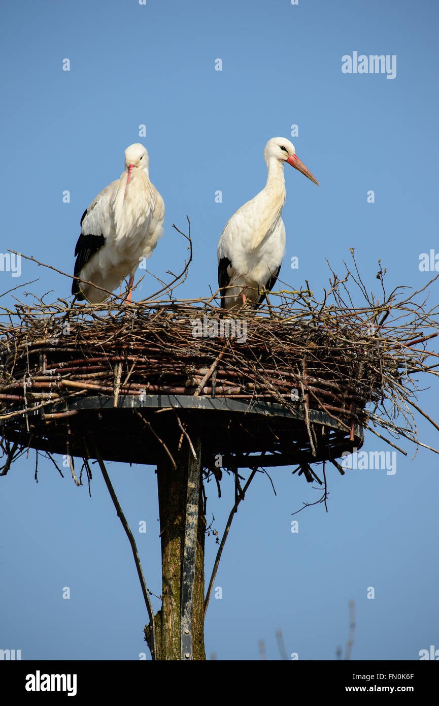 Two white storks on their nest in early spring Stock Photo