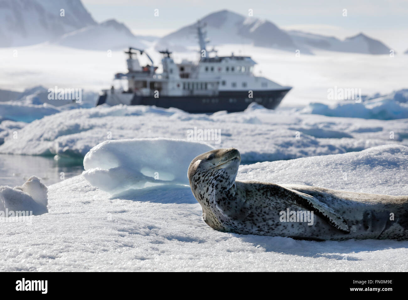 Antarctica, Antarctic peninsula, Brown Bluff, Leopard seal lying on ice floe with expedition ship Hanse Explorer - Stock Image