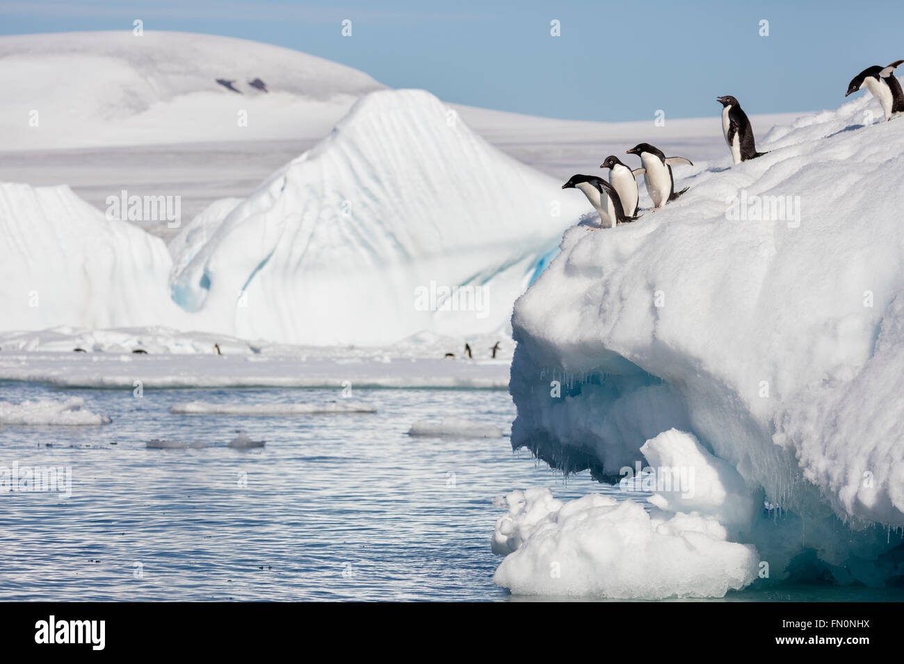 Antarctica, Antarctic peninsula, Brown Bluff. Adelie penguin, penguins diving off iceberg - Stock Image