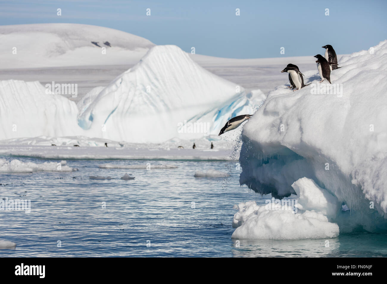 Antarctica, Antarctic peninsula, Brown Bluff. Adelie penguin, penguins diving off iceberg - Stock Image