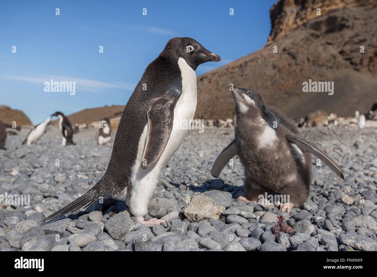Antarctica, Antarctic peninsula, Brown Bluff. Adelie penguin, adult and chick - Stock Image