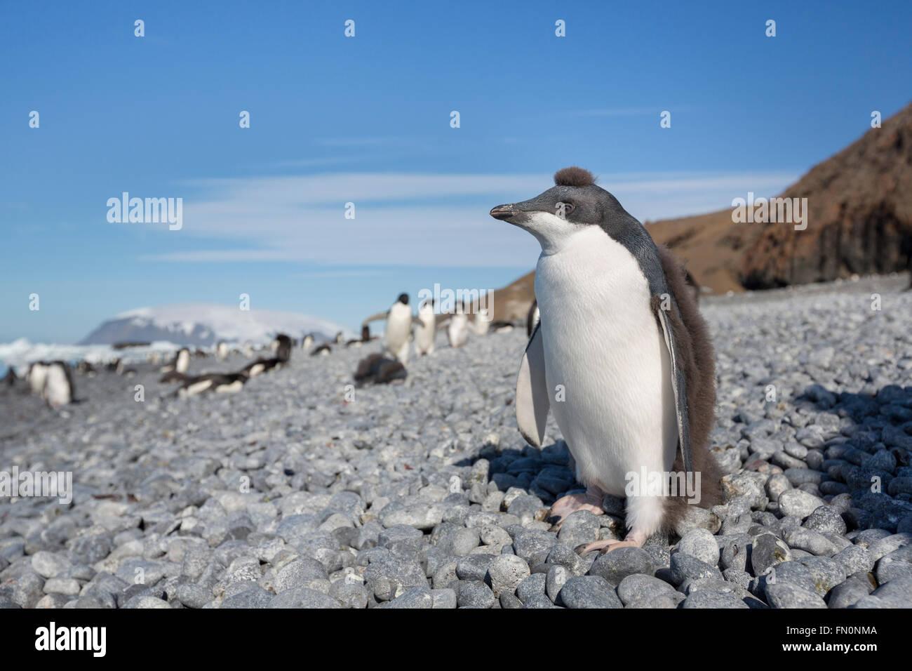 Antarctica, Antarctic peninsula, Brown Bluff. Adelie penguin, chick - Stock Image