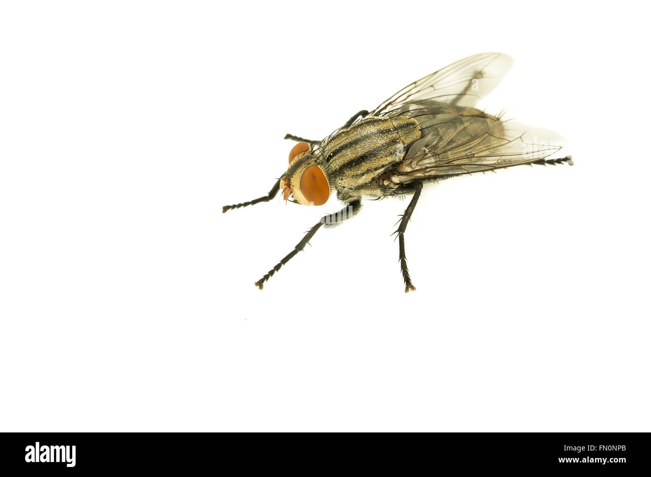 Hosusefly on white isolated background, selective focus Stock Photo