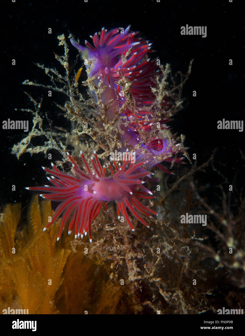 a small purple invertebrate slips on the seabed - Stock Image