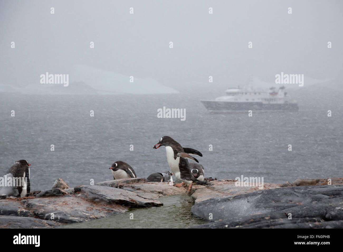 Antarctica, Antarctic peninsula, Booth Island, gentoo penguin carrying stone to nest, expedition ship Hanse Explorer - Stock Image