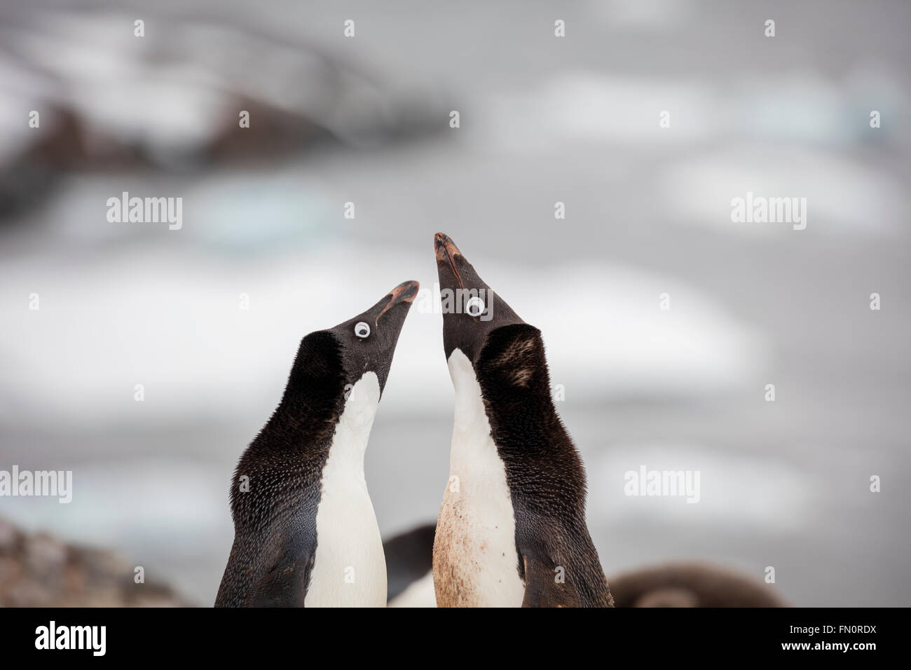 Antarctica, Antarctic peninsula, Petermann Island, Adelie penguin, courtship behaviour - Stock Image