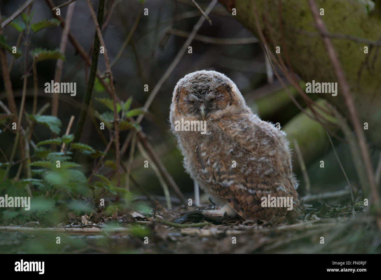 Tawny Owl ( Strix aluco ), young fledgling, hiding in the undergrowth of a forest, sleeping, closed eyes, threatened - Stock Image
