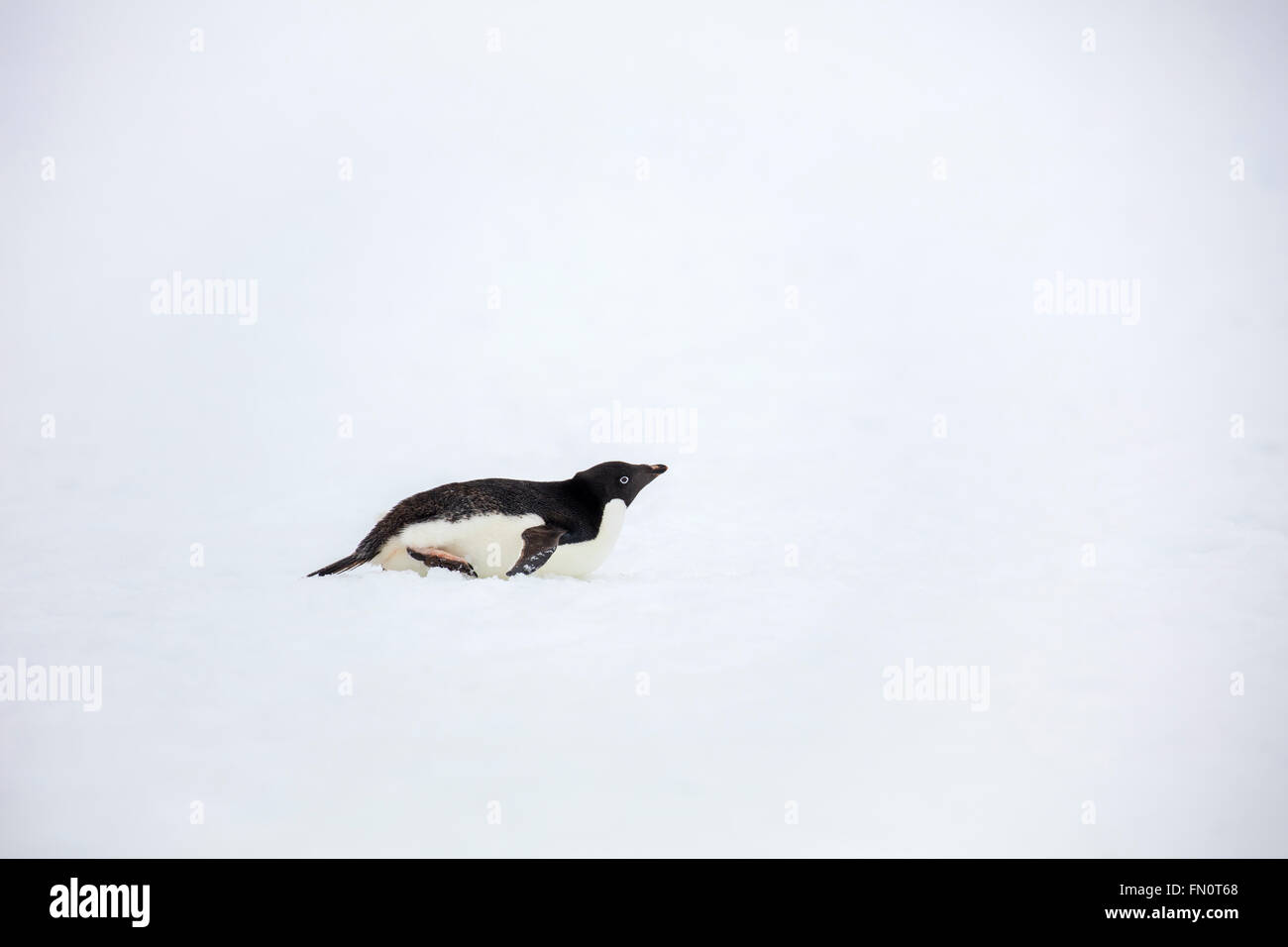 Antarctica, Antarctic peninsula, Petermann Island, Adelie penguin, - Stock Image